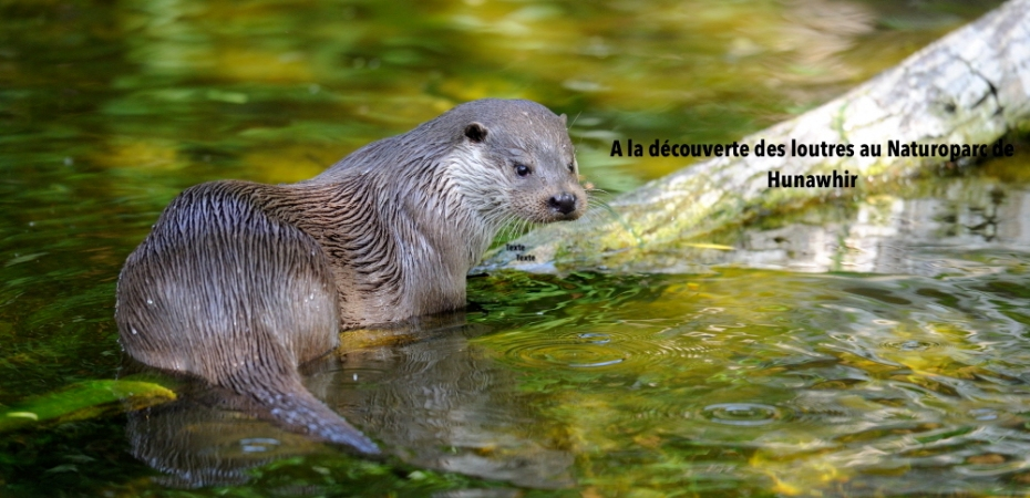 European river otter (Lutra lutra) captive, Alsace, France